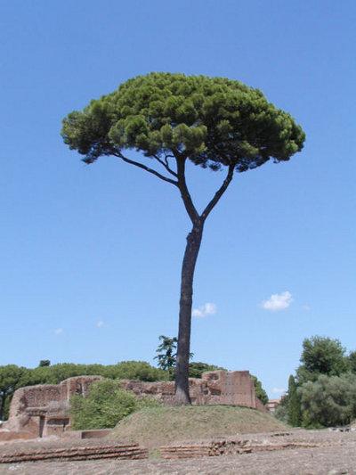 Fotografía de un pino